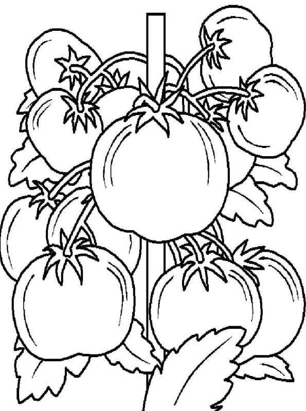 kidsnfunde  malvorlage gemüse tomate 3