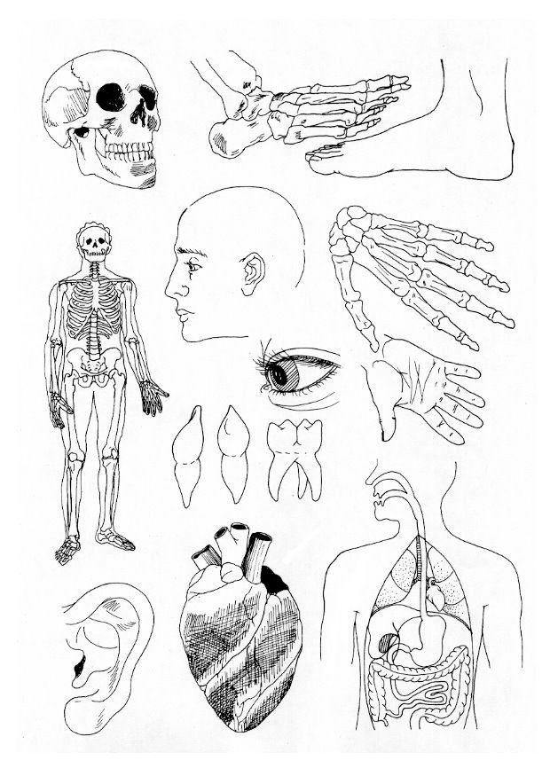 menschliche organe malvorlagen  coloring and malvorlagan
