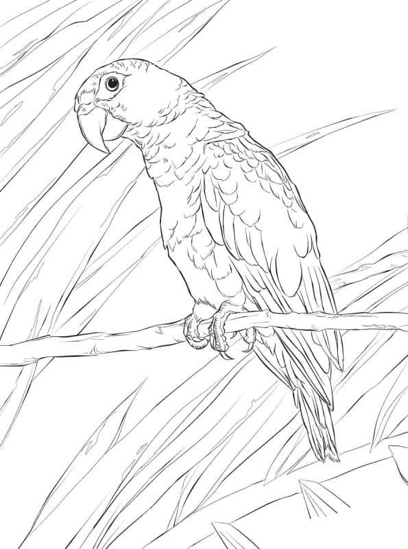 kidsnfunde  malvorlage papageien papagei 14